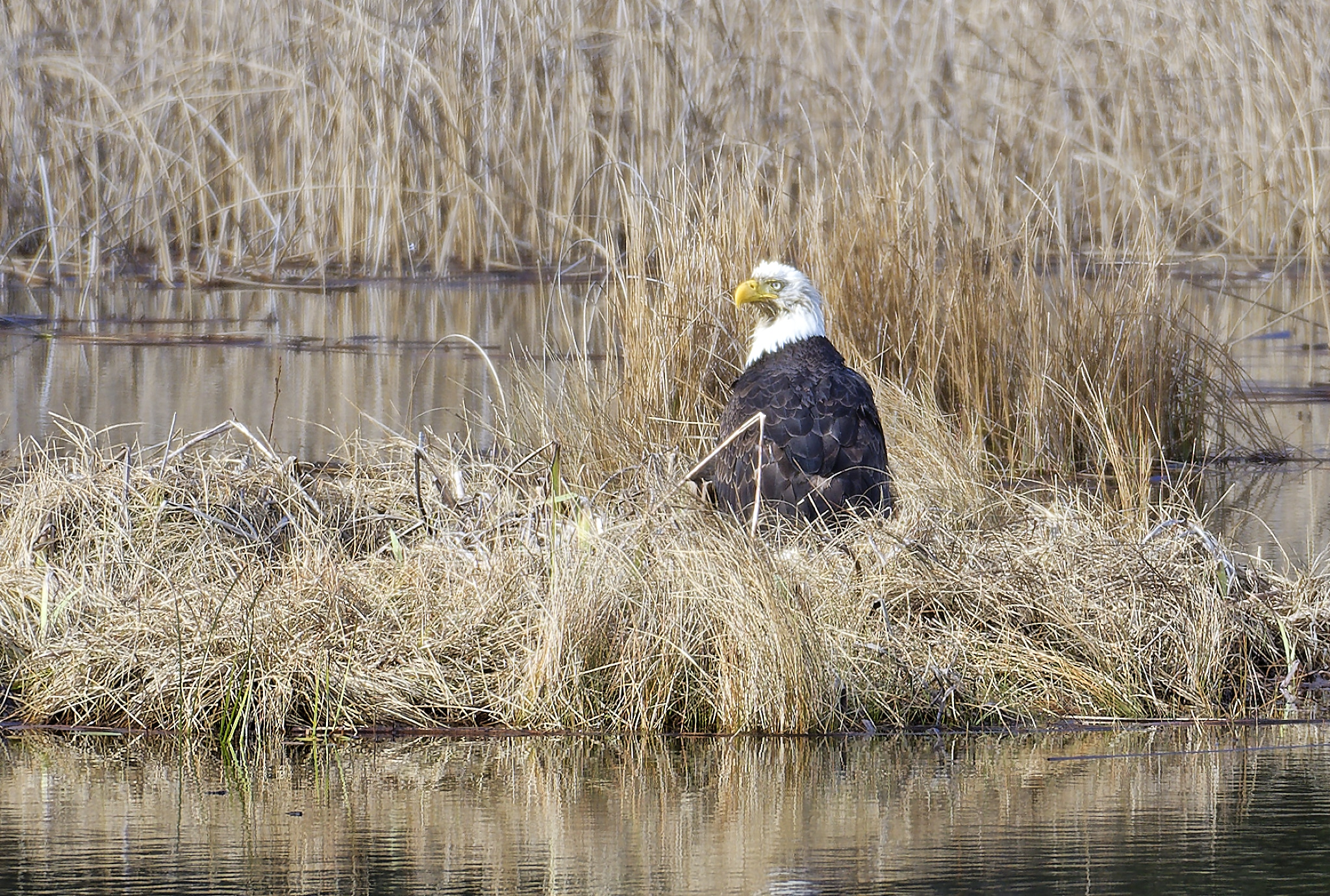 Bald Eagle Preparing for a Bath on Otters Pond in Spring