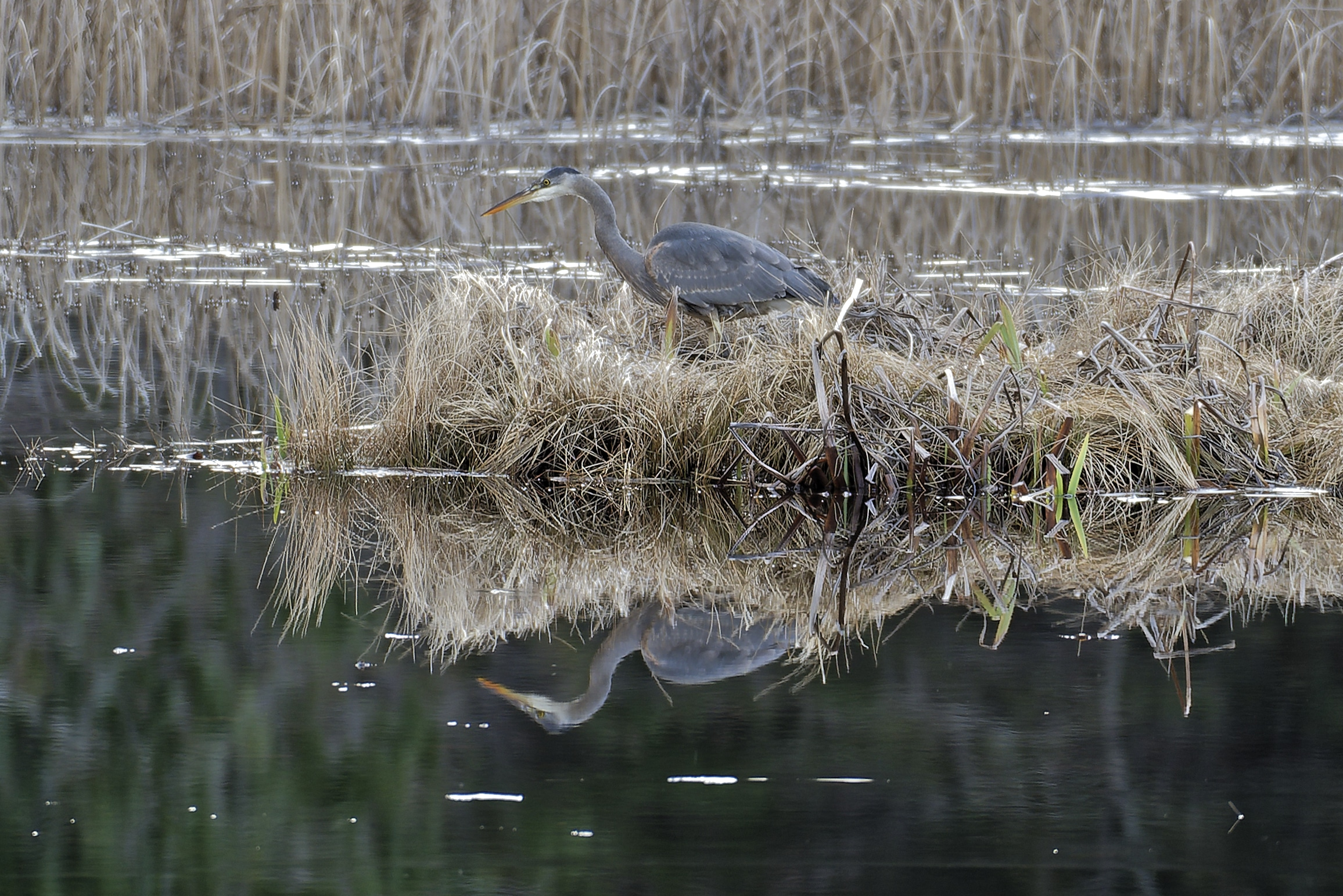 Great Blue Heron on Otters Pond