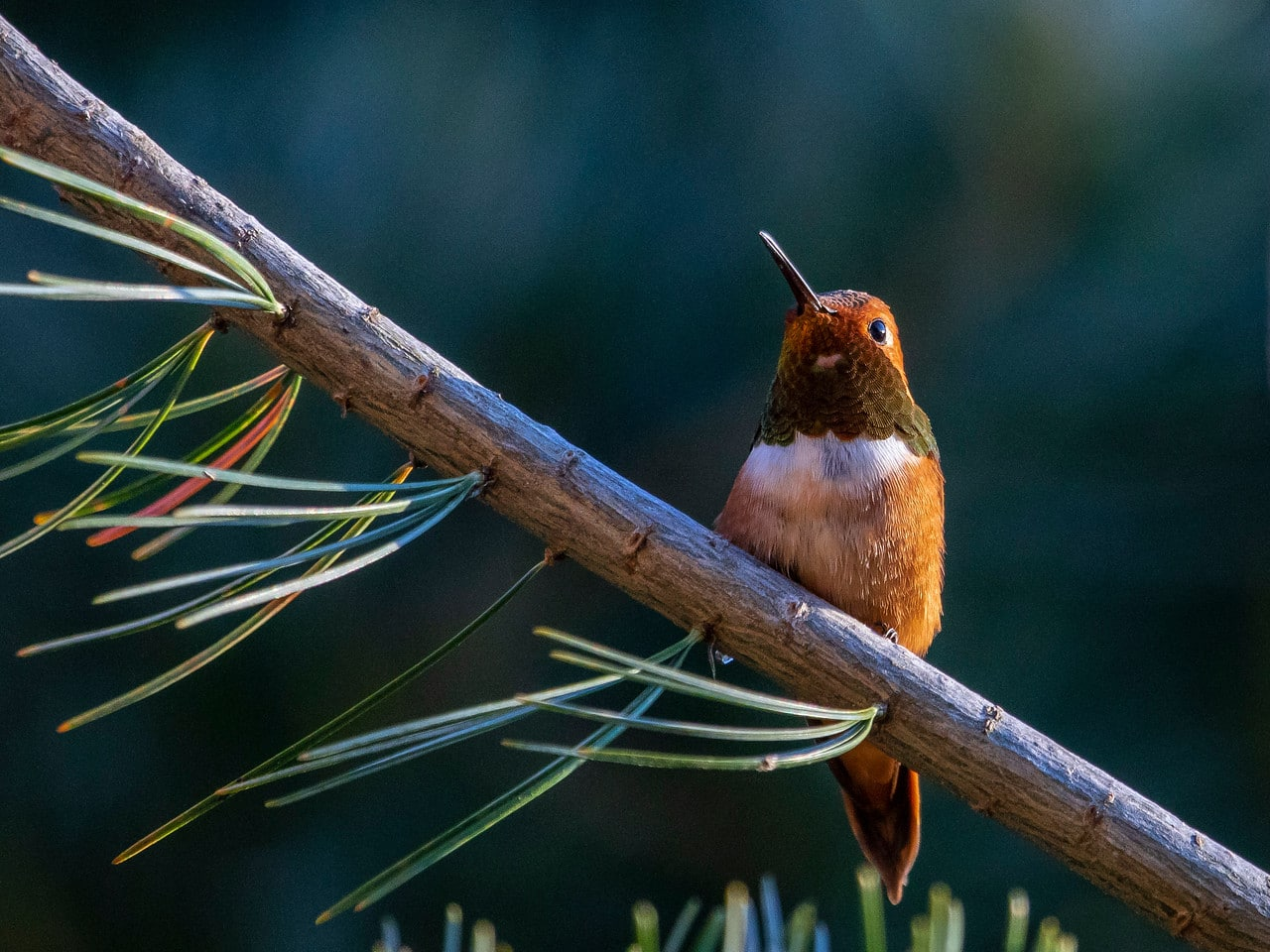 Rufous Humming Bird Resting on Otters Pond Pine